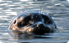 vancouver island kayaking adventures - seals